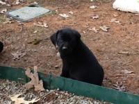 AKC Registered Labrador Retriever puppies, ready to go