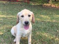 These Championship Bloodline Lab Pups come the line of