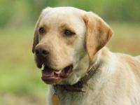 Henderson Labradors has many litters that will be