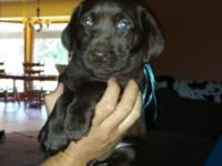Excellent quality AKC lab pups. Parents OFA hips and