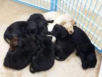 NEW PRICE. Akc Labrador retriever puppies. Ready to go.