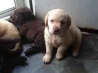 AKC English Labrador Retriever Pups Available for sale.