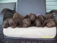 I have 10 beautiful AKC registered chocolate lab. I