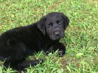 AKC Labrador Retriever, 2 black females left in litter.