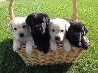 Yellow & Black AKC Labs! Available to go home on 5/7.