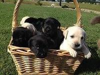 Black AKC Labs! Available to go home on 5/7. TWO