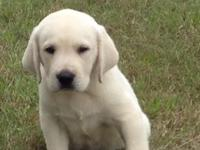 Beautiful labrador retriever puppy Very white Ready for