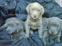 Beautiful and Rare AKC Silver-Chocolate and