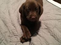 AKC Chocolate Labrador Retreiver puppies. Born Sept 18,