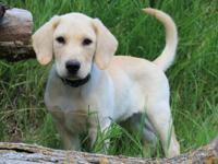 We have a litter of adorable AKC registered yellow and