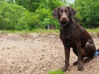 I have 4 girls and 3 boys akc labrador retrievers from