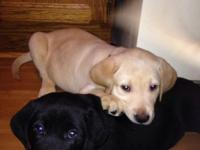 We are expecting a litter of AKC American Labrador