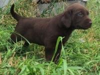 I have 5 lab puppies in search of their new homes. AKC