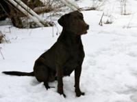 AKC Black & & Chocolate Lab pups can be found in Oct