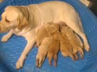 We have 4 AKC Lab Puppies for sale. puppies were born