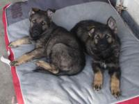 I HAVE 2 AKC GERMAN SHEPHERD PUPPIES BOTH FEMALES.MY
