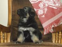 We have the Pick of Litter-AKC registered German