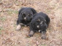 Very large AKC german shepherd pups. huge heads. these