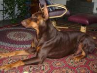 Big and Bold Dobermans are reproducing now and have A