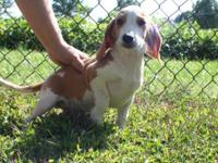 I have 2 AKC male white and lemon beagles (Olaf and