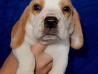 AKC Reg.lemon/white male beagle puppy. He should stay