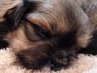 Attractive satisfied Lhasa also puppies. Will be