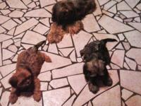 AKC 1 MALE BLACK/CREAM and 1 FEMALE RED/GOLD/BLACK.