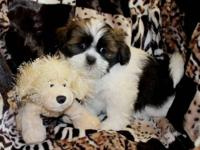 Lhasa Apso's. You are welcome to come see the babies