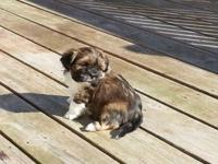 AKC Lhasa Apso puppies born 1-24-2014. Prepared now!