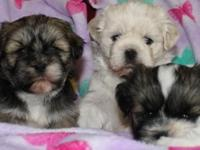 We have 3 AKC Lhasa Apso female new puppies born upon