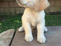 Mom is akc American golden retriever. Dad is akc