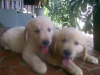 Beautiful AKC Light Golden Retrievers!! I have two