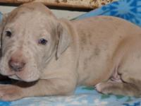 AKC GREAT DANE PUPPIES! These babies are off of our