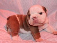 ***AKC Lilac Fawn English Bulldog Female with an