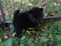 Mickey is a cute lil guy, Born 7-19-15, AKC Limited/pet