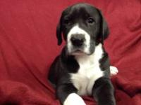 We have 2 male mantle puppies for sale.They were born