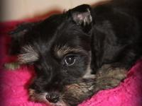 This is Crystal. She is an AKC Miniature Schnauzer with