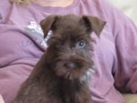AKC Miniature Schnauzer liver female. She is my last in