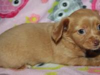 Beautiful AKC Chihuahua puppies available Born 9/1/15