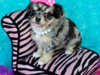 Gorgeous AKC toy long coat chihuahua females. Great