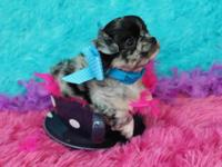 Gorgeous AKC toy long coat chihuahua male puppies.