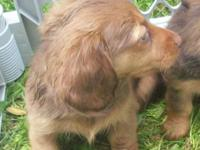 One little girl, red with a brown nose. $450.00 One