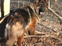 Rogue is a beautiful red sable long coat female GSD.