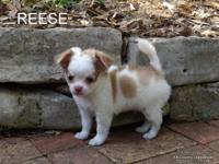 Reese is a charming, type adhered AKC champion grand