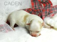 Caden is a long coat cream male with fawn spots, AKC