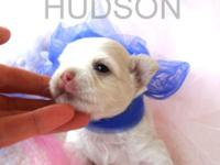 Hudson is a lovely cream/white long coat Chihuahua that