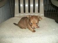 AKC registered long hair chihuahua puppies available.