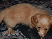 Red female AKC mini Long Hair with a white chest and a
