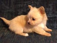 Full AKC beautiful blonde female long haired