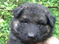 AKC registered long haired puppies. Solid black, and